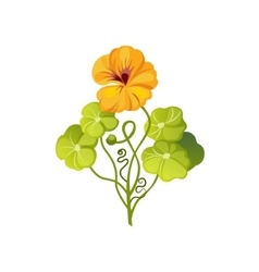 Nasturtium Wild Flower Hand Drawn Detailed vector