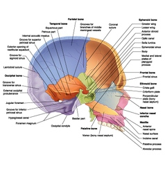 skull midsagittal view vector image vector image