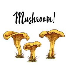 mushroom chanterelles isolated oisolated on white vector image