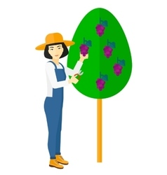 Farmer collecting grapes vector image