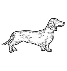 Pet dog dachshund breed sketch scratch board vector