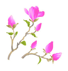 stem chinese magnolia blooming pink flowers vector image