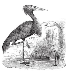 Reddish Egret engraving vector image vector image