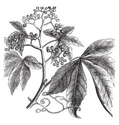 Virginia creeper engraving vector