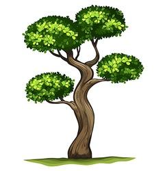 A Diospyros rhodocalyx plant vector