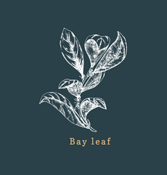 bay leaf sketch drawn spice herb vector image
