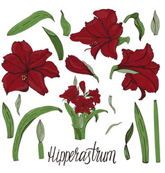 Handpainted amaryllis hipperastrum flower vector