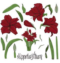 handpainted amaryllis hipperastrum flower vector image