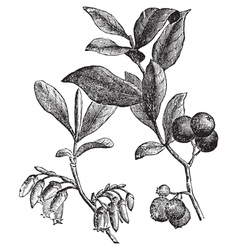 Huckleberry engraving vector image