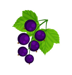 Black currant isolated on vector