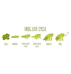 frog life cycle stages development and growth vector image