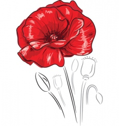 red poppy flower vector image