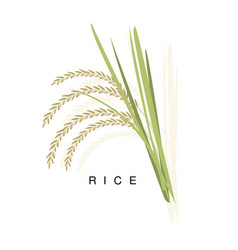 rice ear infographic with realistic vector image