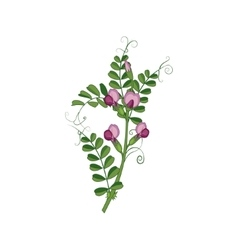 Sweet Pea Wild Flower Hand Drawn Detailed vector image