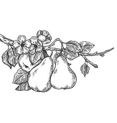 Pear tree branch engraving vector