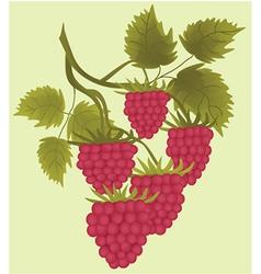 Raspberries vector image vector image