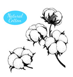 Set of hand drawn cotton plant branch with vector