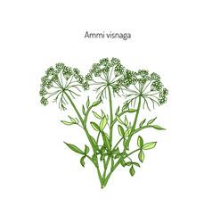 Ammi visnaga medicinal plant vector