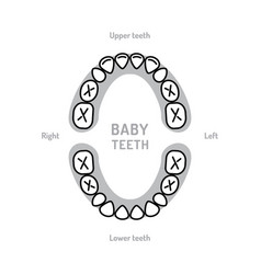Baby tooth chart mouth primary teeth vector