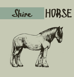 Farm shire draft horse vector