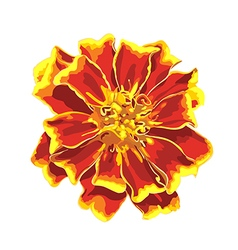 Marigold isolated images vector