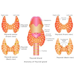Thyroid gland vector image