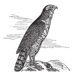 Northern Goshawk vintage engraving vector