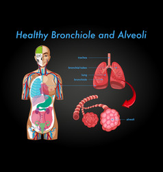 Healthy bronchiole and alveoli vector