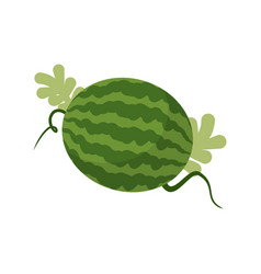 watermelon growing isolated fruit with leaves vector image