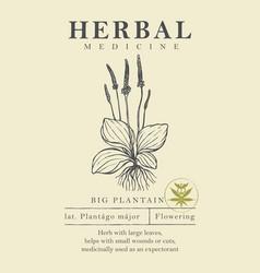 Botanical a hand drawn plantain vector