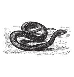 European Viper Vintage engraving vector image