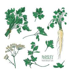Botanical drawing of parsley leaves flowers or vector