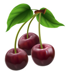 Bunch of three cherries vector