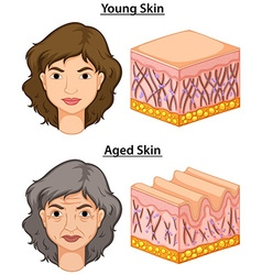 Woman with young and aged skin vector