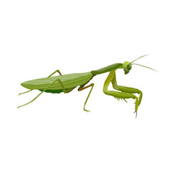 Praying mantis predatory insect realistic vector