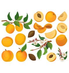 Apricot fruit cartoon set icon vector