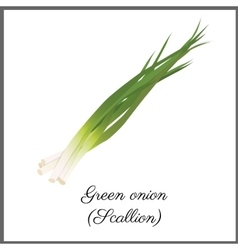Green onion isolated on white top view vector image