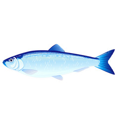 Atlantic herring fish vector