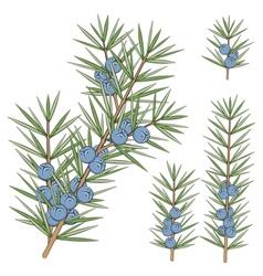 Set of juniper branches vector image