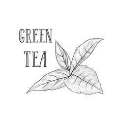 tea leaves herb label with lettering green tea vector image