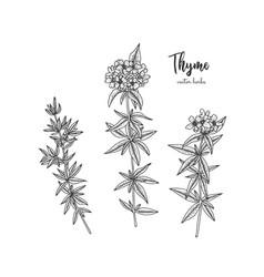 Vintage botanical engraving of thyme vector