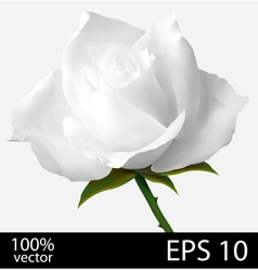 White rose realistic vector image