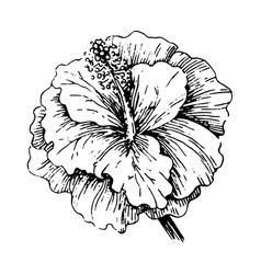 concept of tropical hibiscus vector image