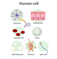 information poster on human cells vector image