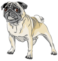 Sketch angry dog fawn pug breed stands in front vector