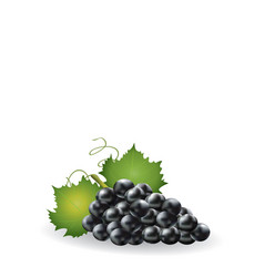 black grapes on white background vector image