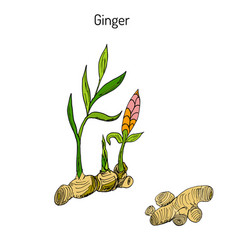 Hand drawn ginger plant vector
