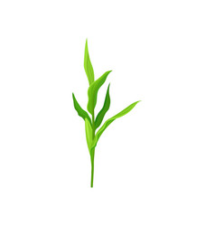 Green corn stalk on a white vector