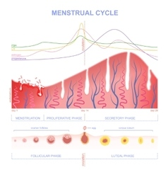scheme of the menstrual cycle vector image