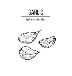 spice collection garlic hand drawn vector image